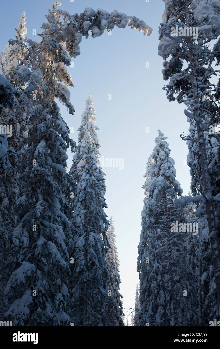 Snow load bends spruce treetops ( Picea Abies ) in the forest - Stock Image