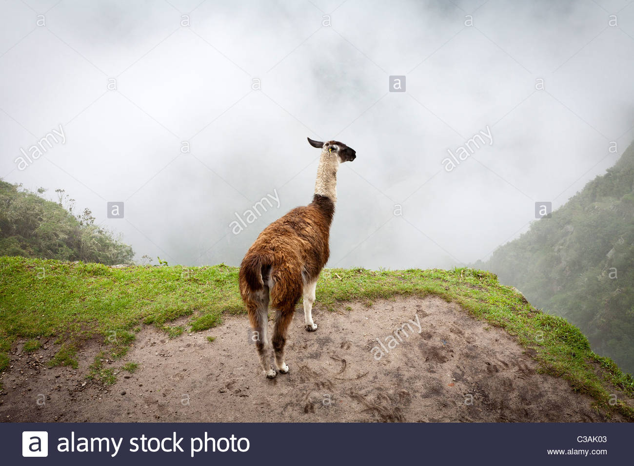 A Llama (L. glama) overlooking the foggy valley at Machu Picchu, Peru. - Stock Image