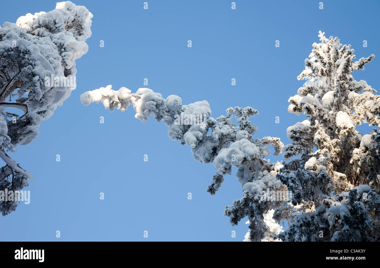 Snow load bends spruce ( Picea Abies ) treetops in the forest - Stock Image
