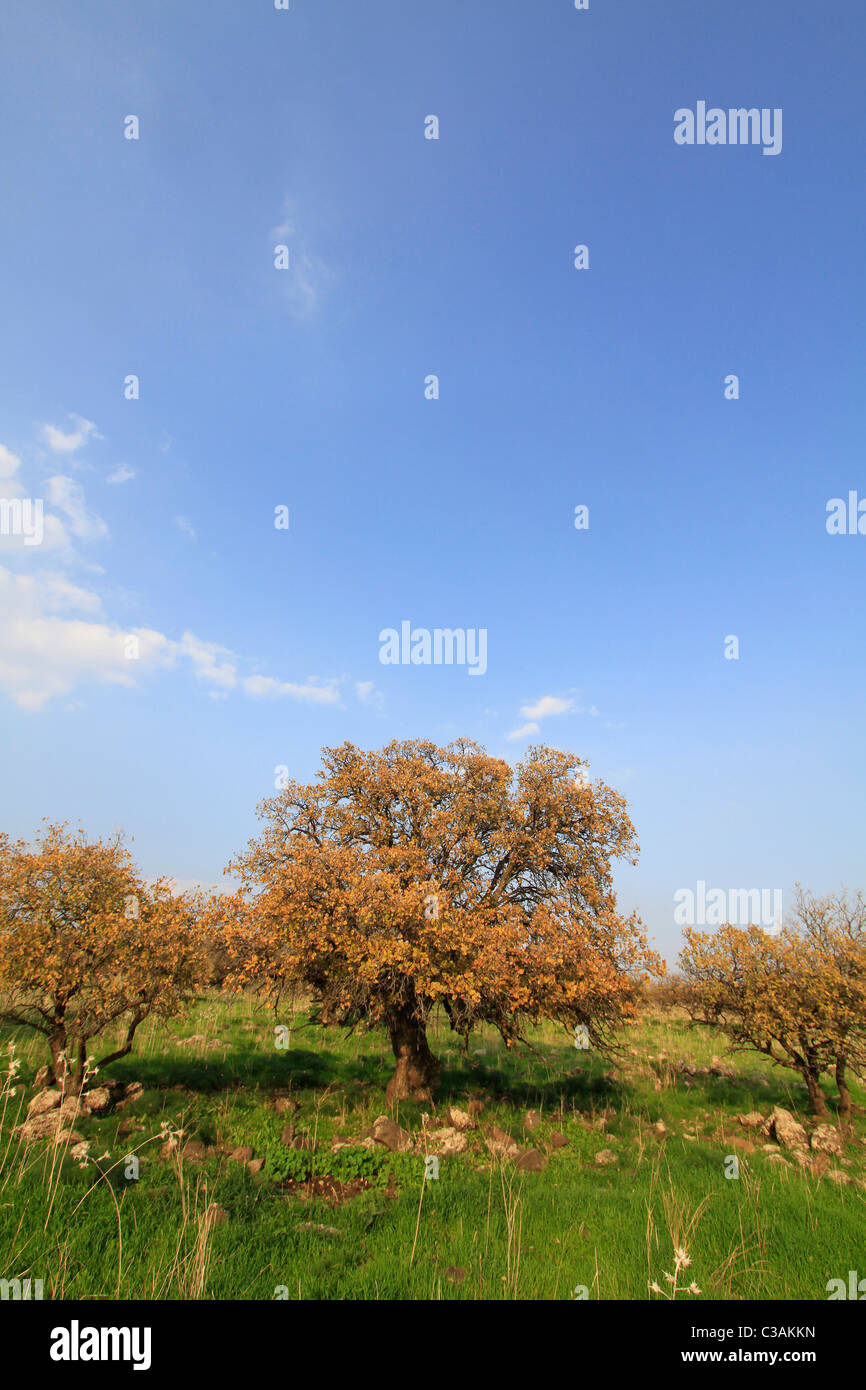 Golan Heights, Mount Tabor oak (Quercus ithaburensis) trees in Yehudiya Forest Nature Reserve - Stock Image