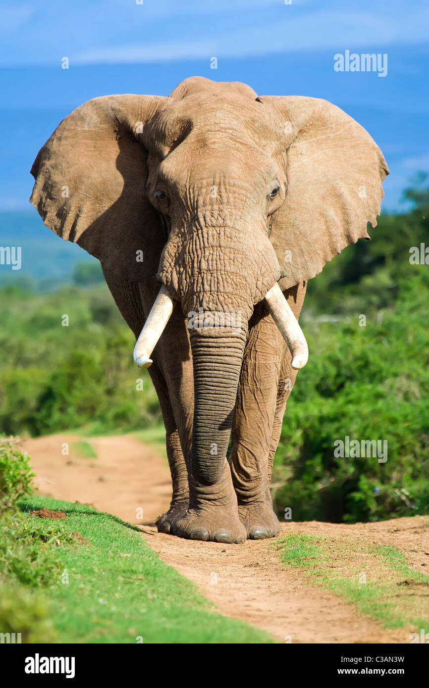 Male African Elephant portrait - Stock Image