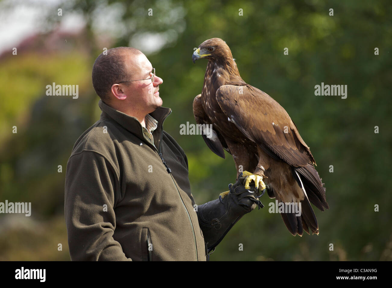 Golden eagle, Aquila chrysaetos, with handler, Loughborough, Leicestershire, England, UK, GB, - Stock Image