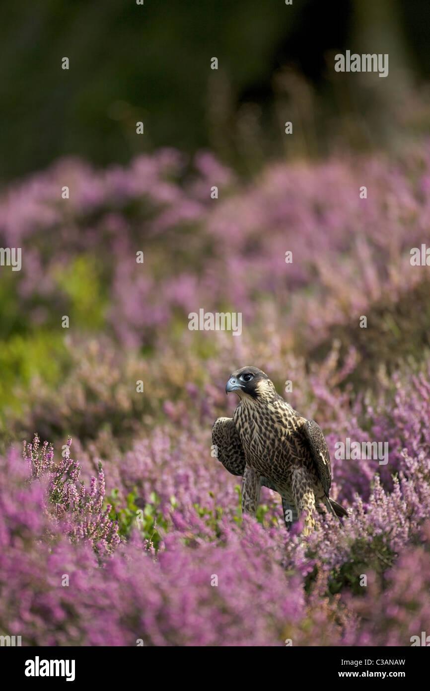 Peregrine Falcon, Falco peregrinus, captive, in heather Leicestershire, England, UK, United Kingdom, GB, - Stock Image