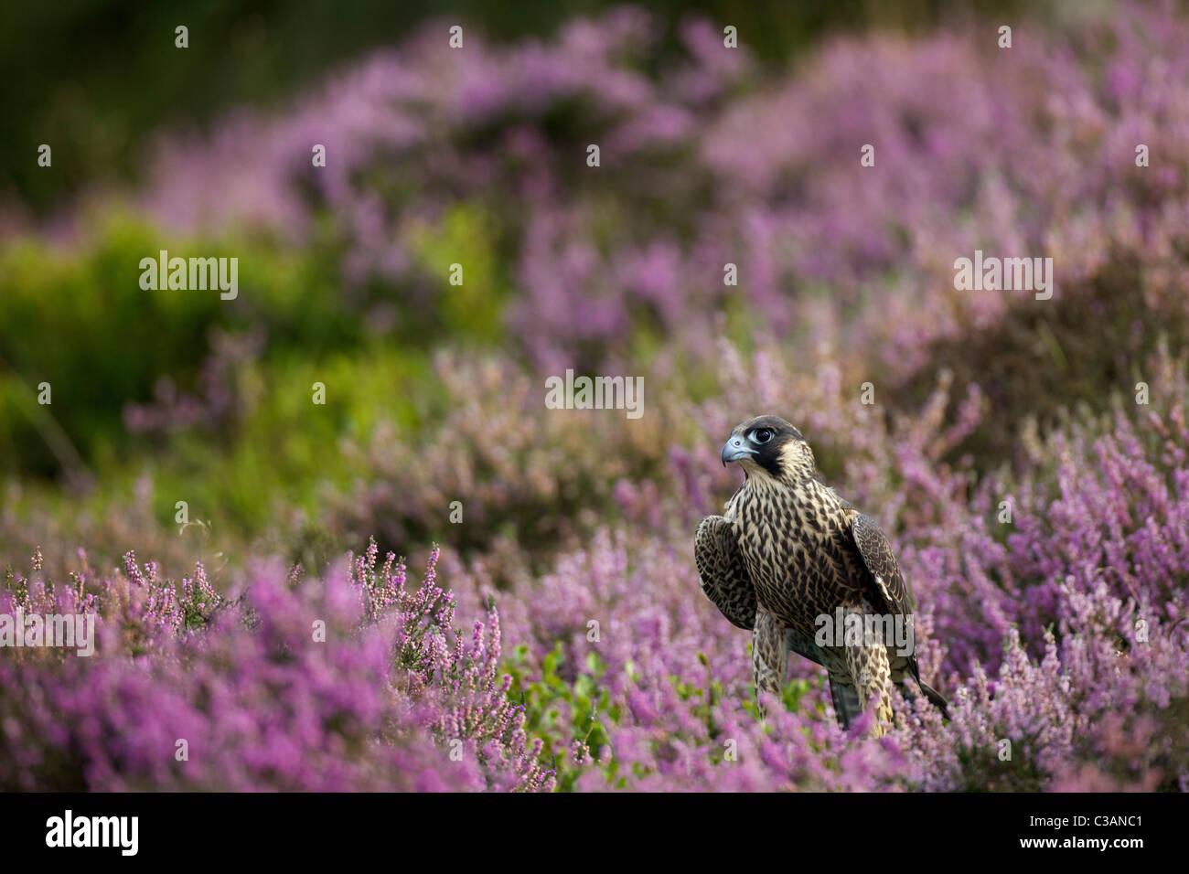 Peregrine Falcon, Falco peregrinus, captive, in heather, Leicestershire, England, UK, United Kingdom, GB, - Stock Image