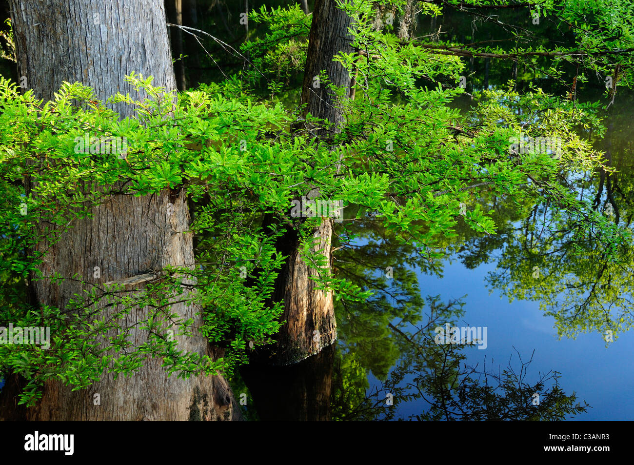 Bald cypress, Taxodium distichum, Morrison Springs, Walton County, Florida - Stock Image