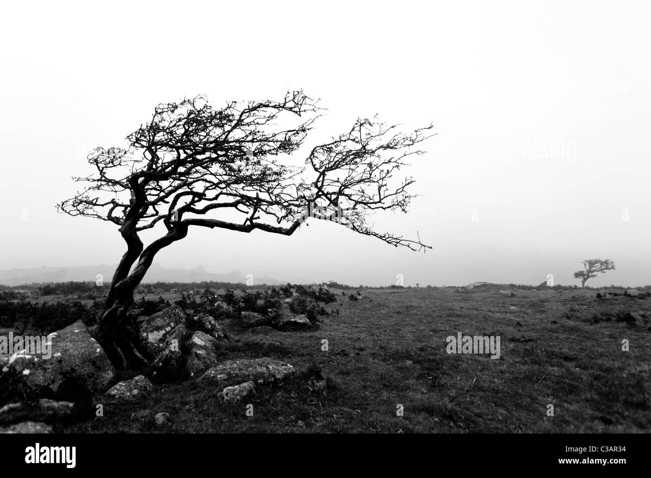 Windswept hawthorn bush/tree on dartmoor.  Shot in black and white in the mist - Stock Image