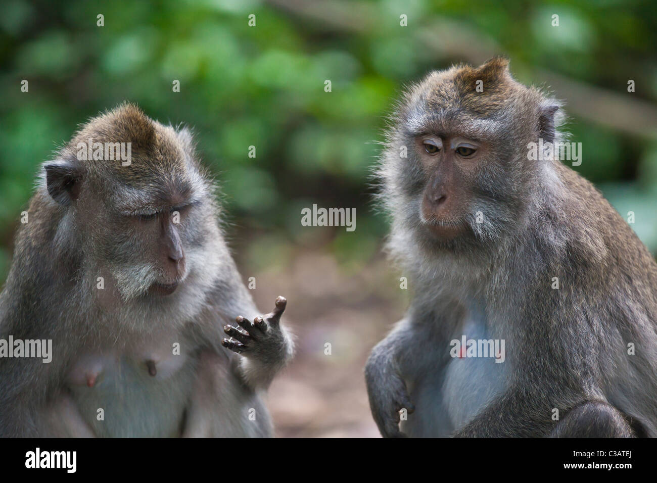 BALINESE MACAQUES (Macaca fascicuiaris) in the MONKEY FOREST PARK - UBUD, BALI, INDONESIA - Stock Image