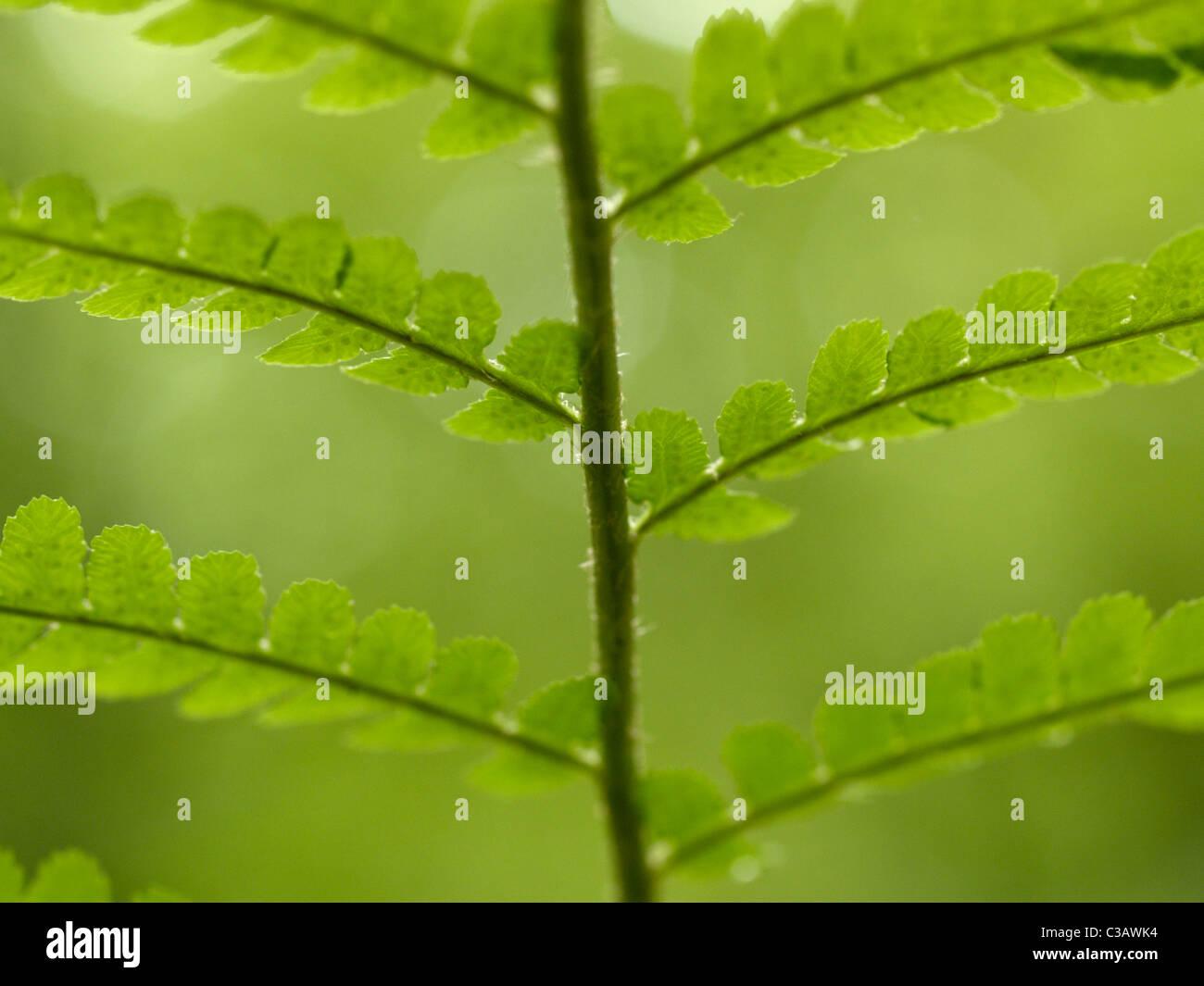 Fern / Pteridophyta branch from below - Stock Image