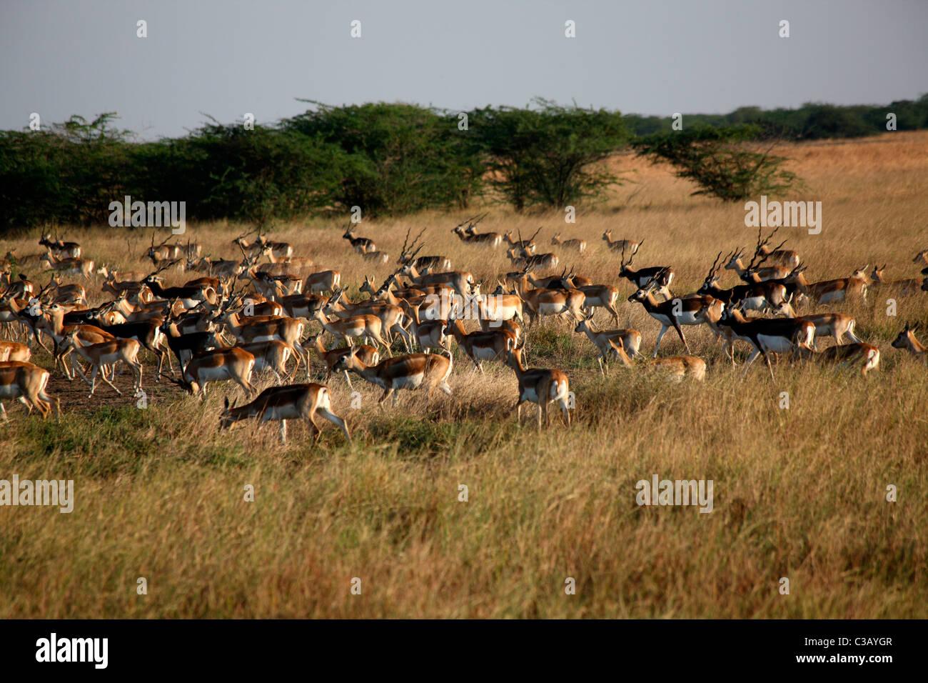 A herd of black bucks - Stock Image