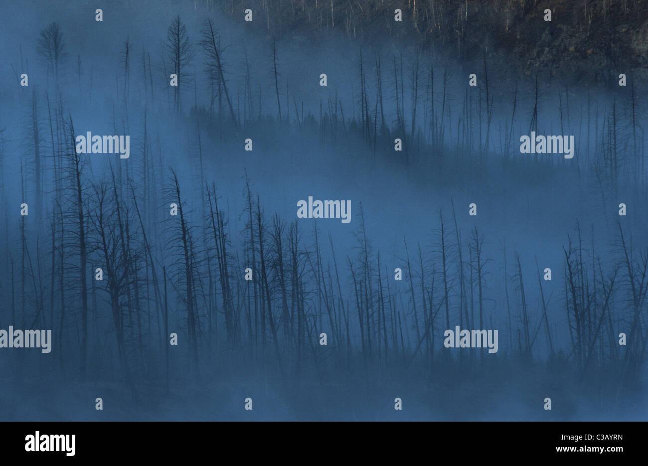 Dead trees in the mist, Yellowstone - Stock Image