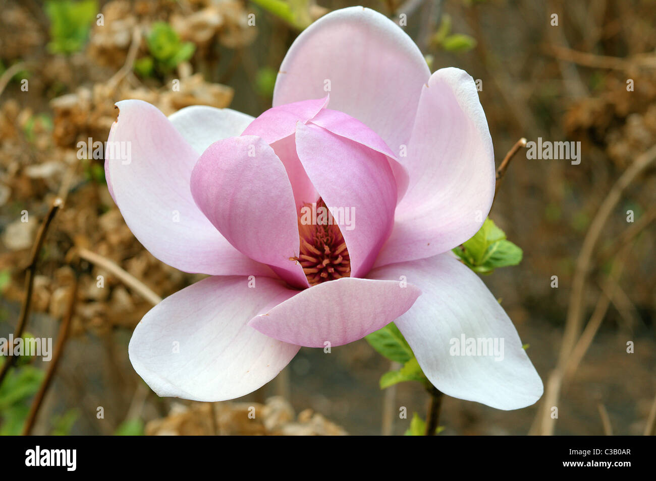 Magnolia grandiflora pink big spring stock photos magnolia magnolia grandiflora pink big spring flower close up stock image mightylinksfo