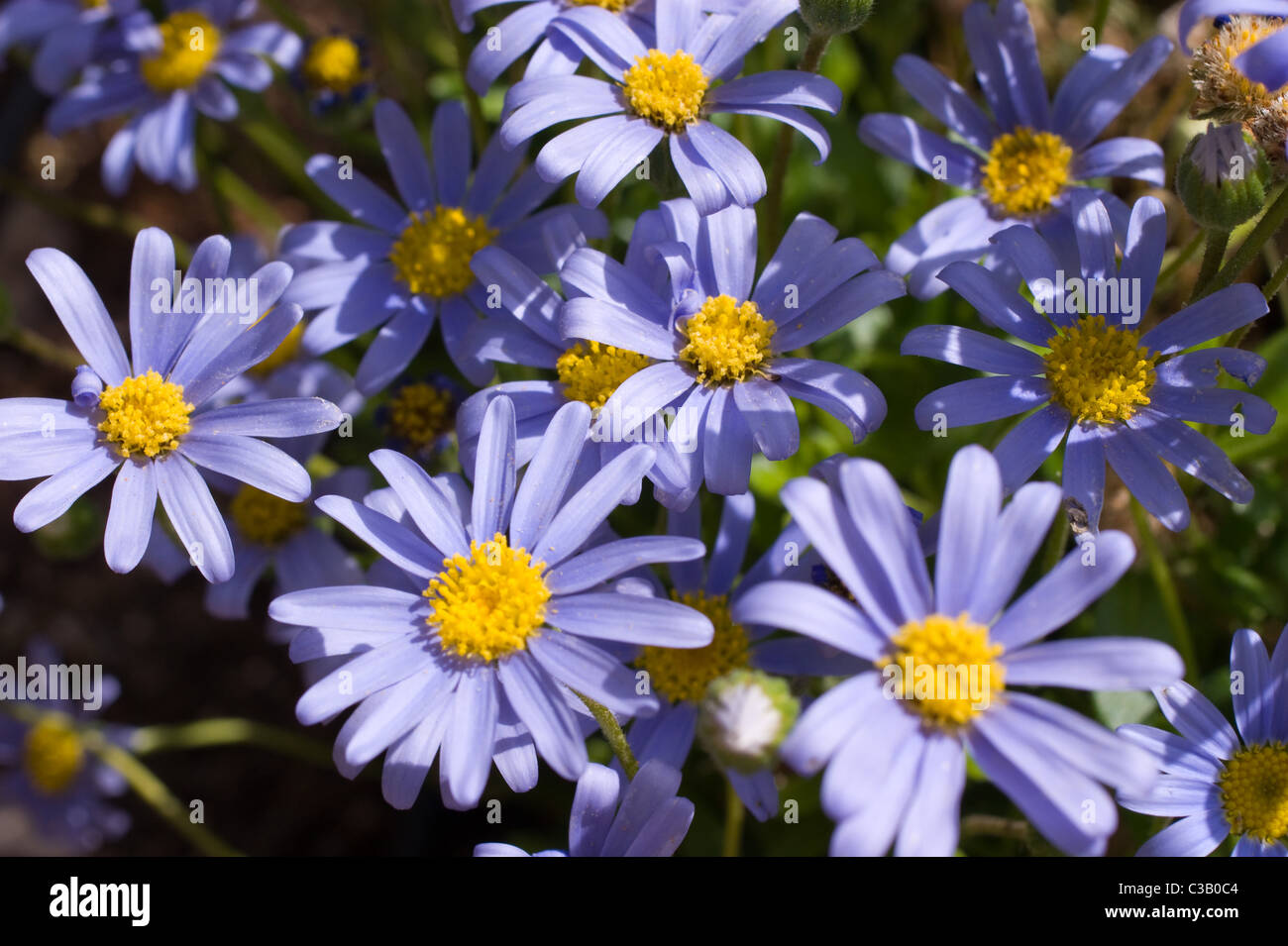 Anemone Flower Blue With Yellow Centre Stock Photo 36506516 Alamy