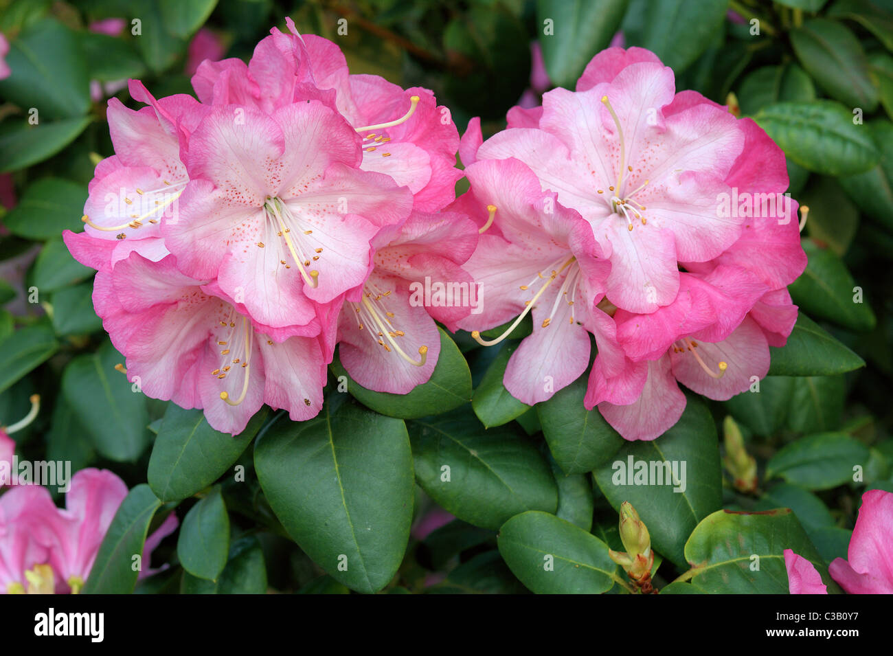 Pink rhododendron Stadt Essen blossom - Stock Image