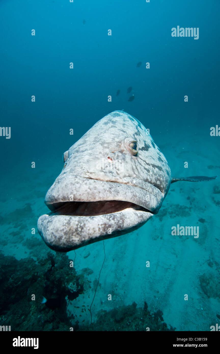 potato cod grouper, Epinephelus tukula, Sodwana Bay, South Africa, India Ocean - Stock Image