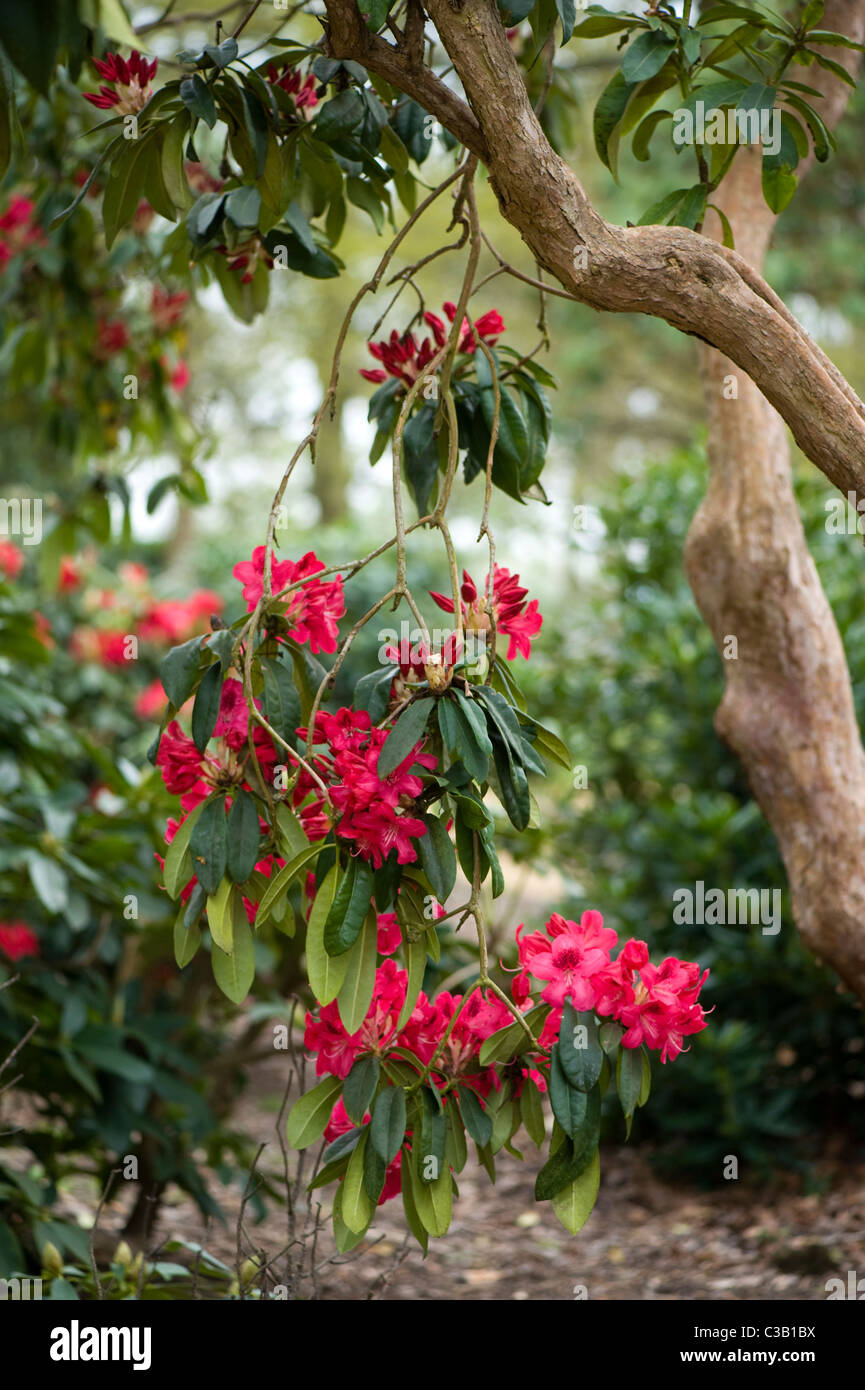 Rhododendron flowers and buds Stock Photo