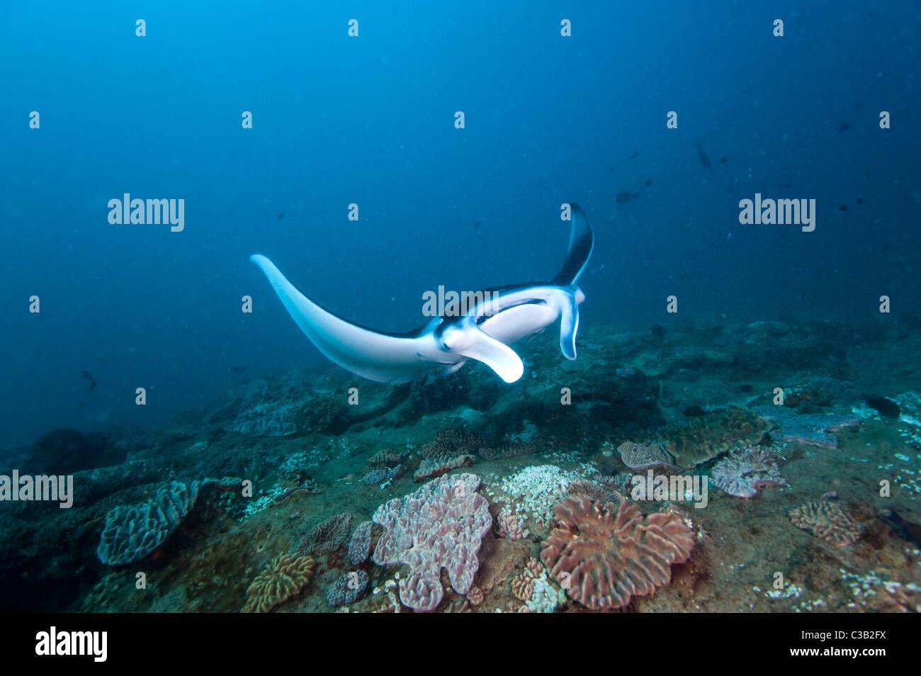 Manta ray, Manta birostris, Sodwana Bay, South Africa, Indian Ocean Stock Photo