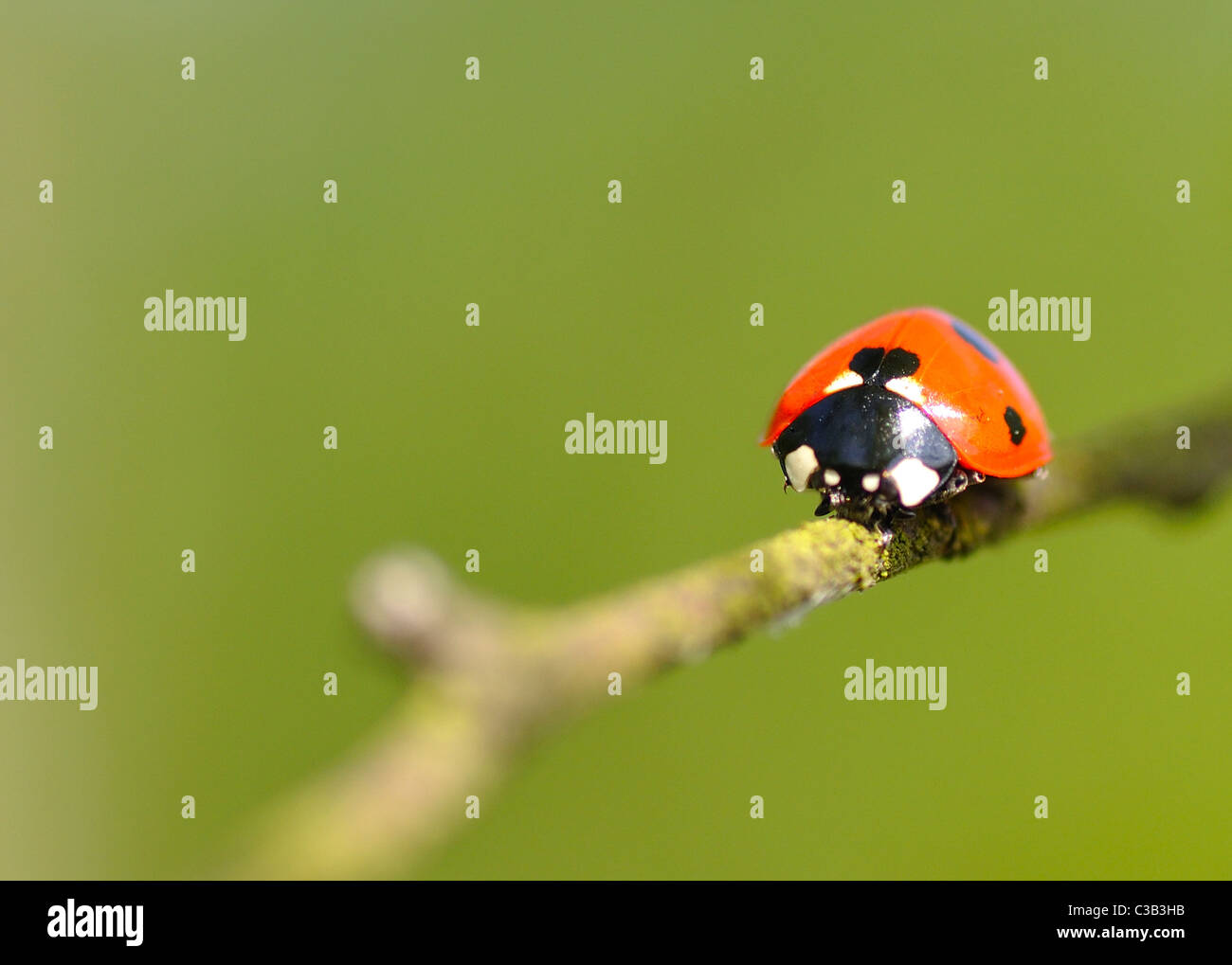 7 spot Ladybird on a branch Stock Photo