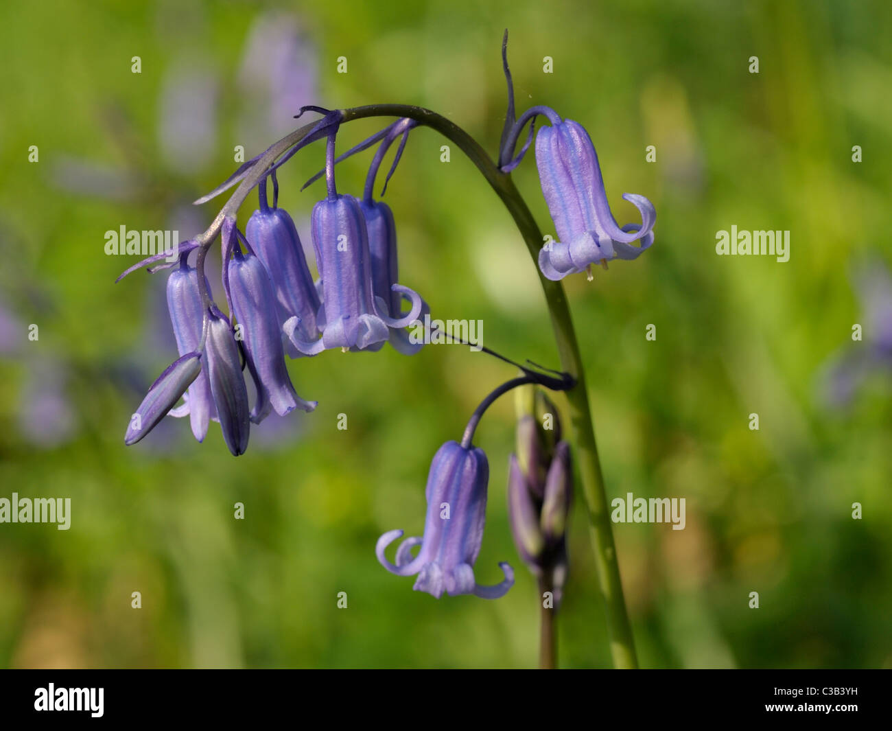 Bluebell, hyacinthoides non-scripta - Stock Image