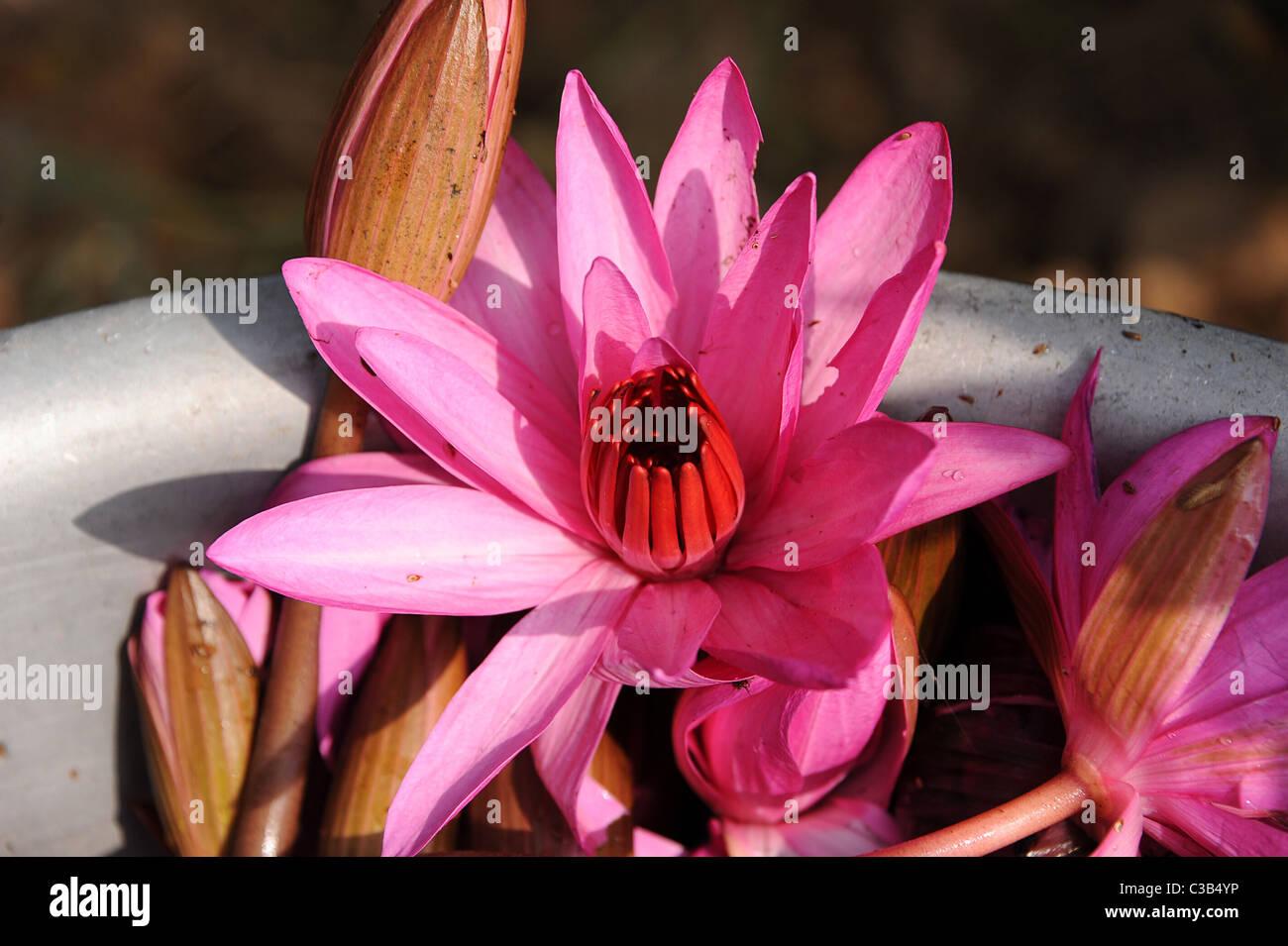 Pink Lotus Flower In Bowl Stock Photos Pink Lotus Flower In Bowl