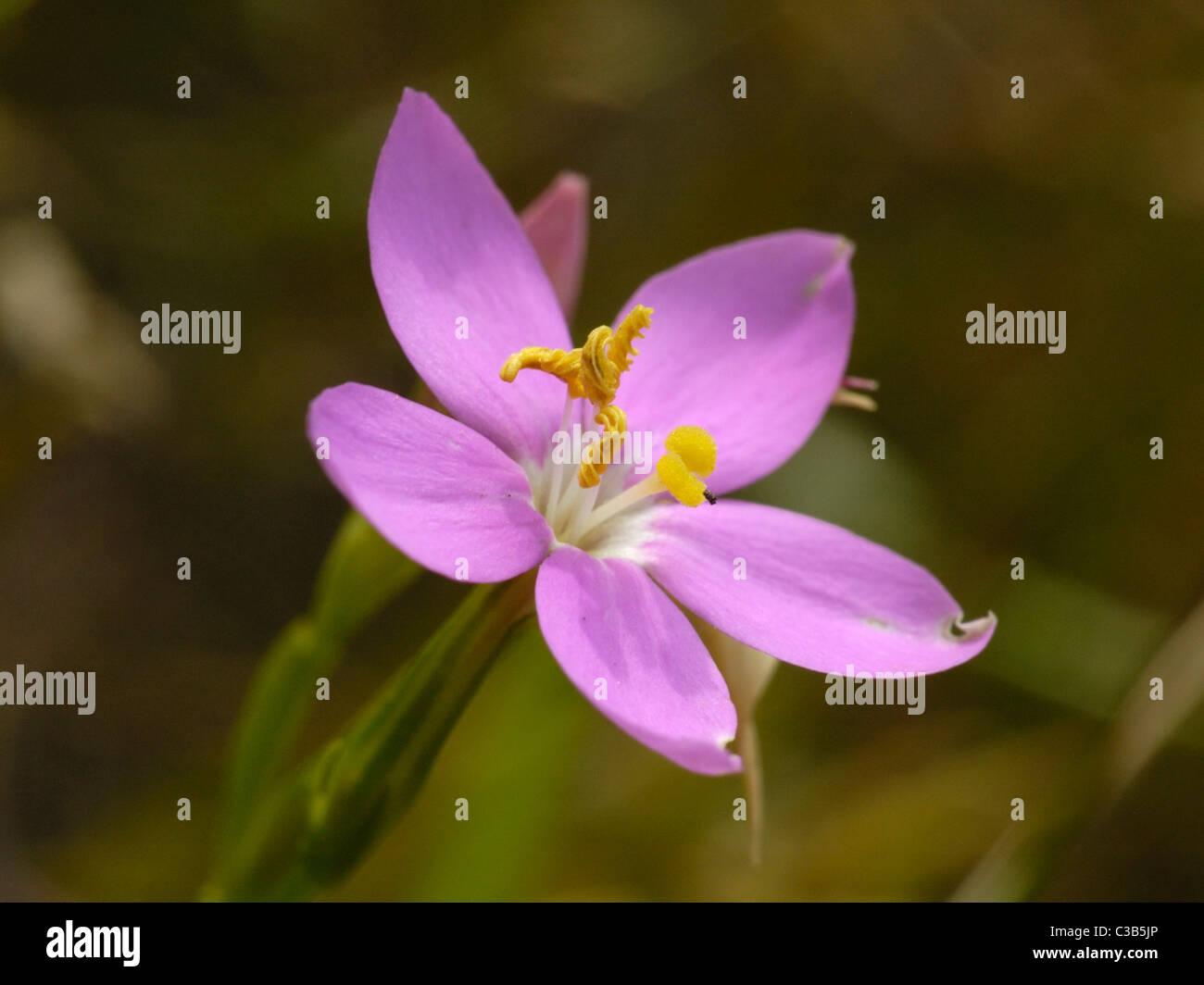 Perennial Centaury, centaurium scilloides - Stock Image