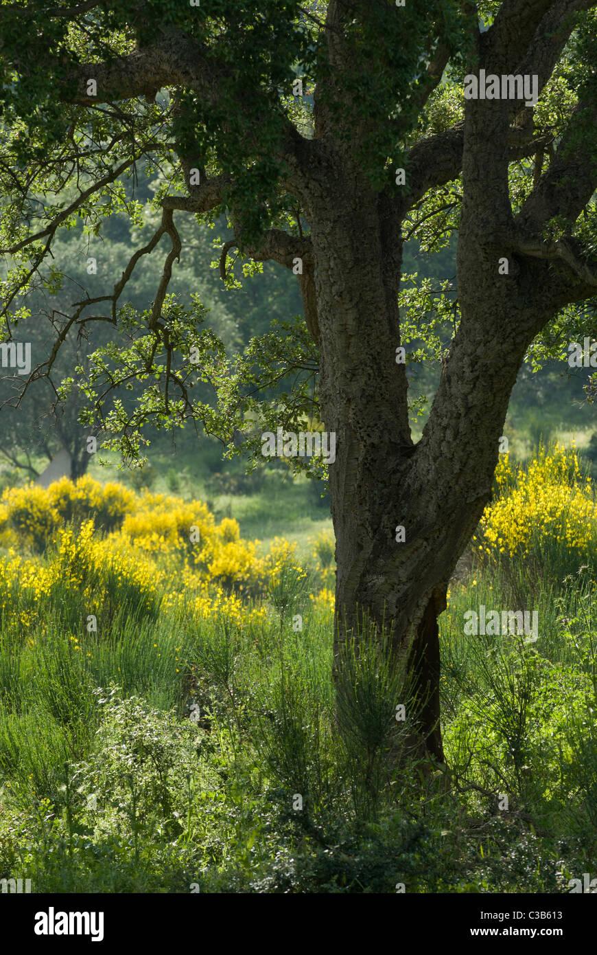 Cork Oak (Quercus suber) in maquis vegetation, Corsica, France - Stock Image