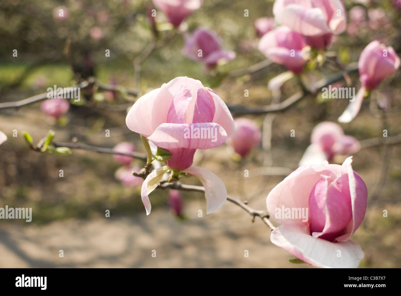 Big pink flowers stock photos big pink flowers stock images alamy big pink flowers of magnolia on tree stock image mightylinksfo