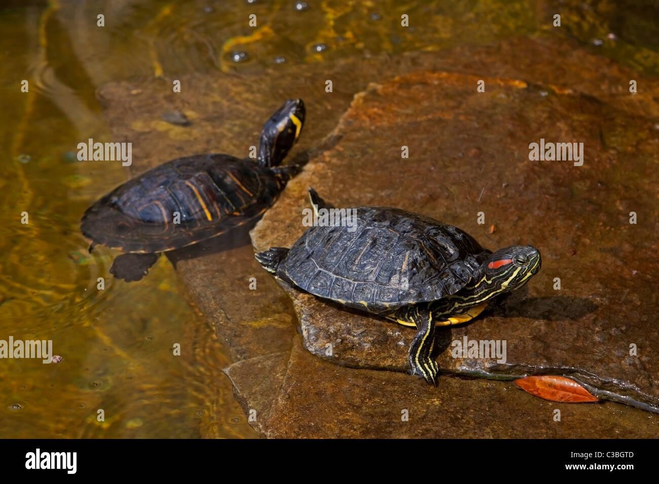 Wasserschildkröten in Italien - Stock Image
