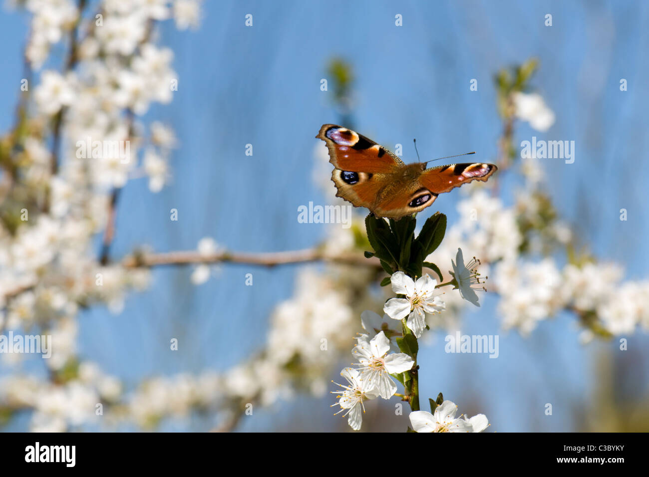 Peacock butterfly with wings open on blossom tree on sunny bright day - Stock Image