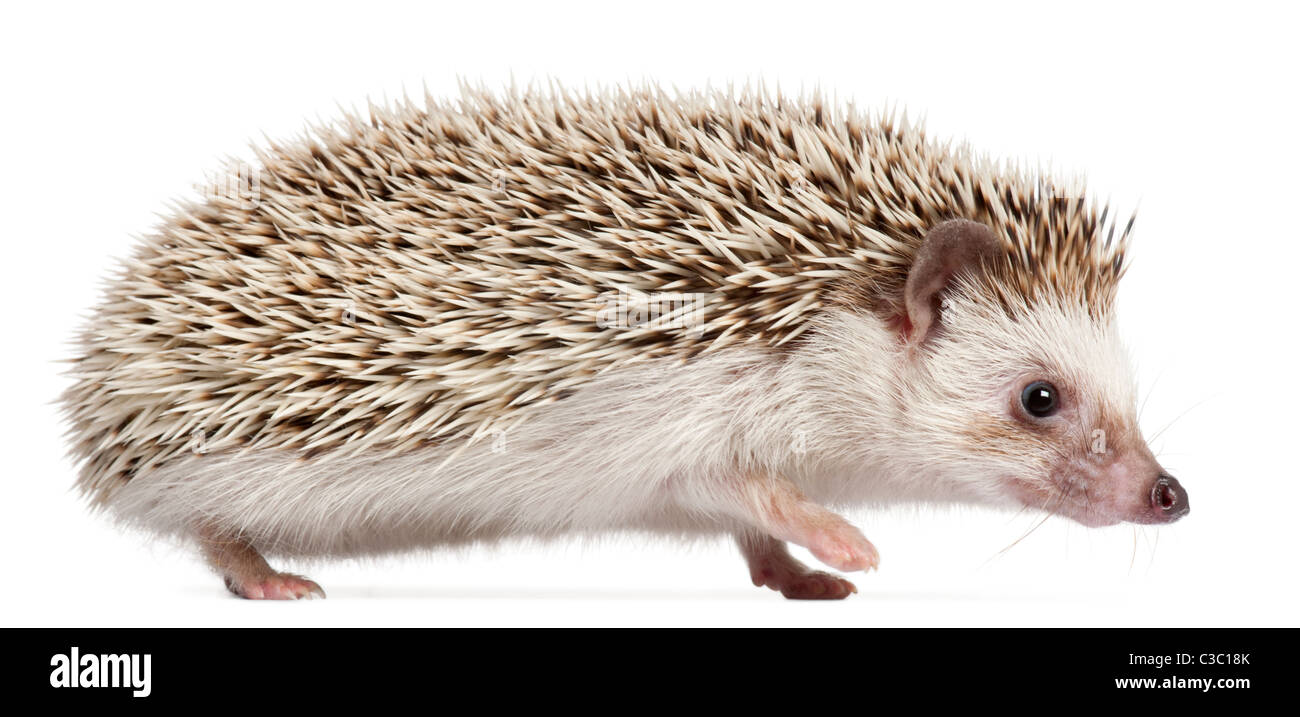Four-toed Hedgehog, Atelerix albiventris, 6 months old, in front of white background - Stock Image
