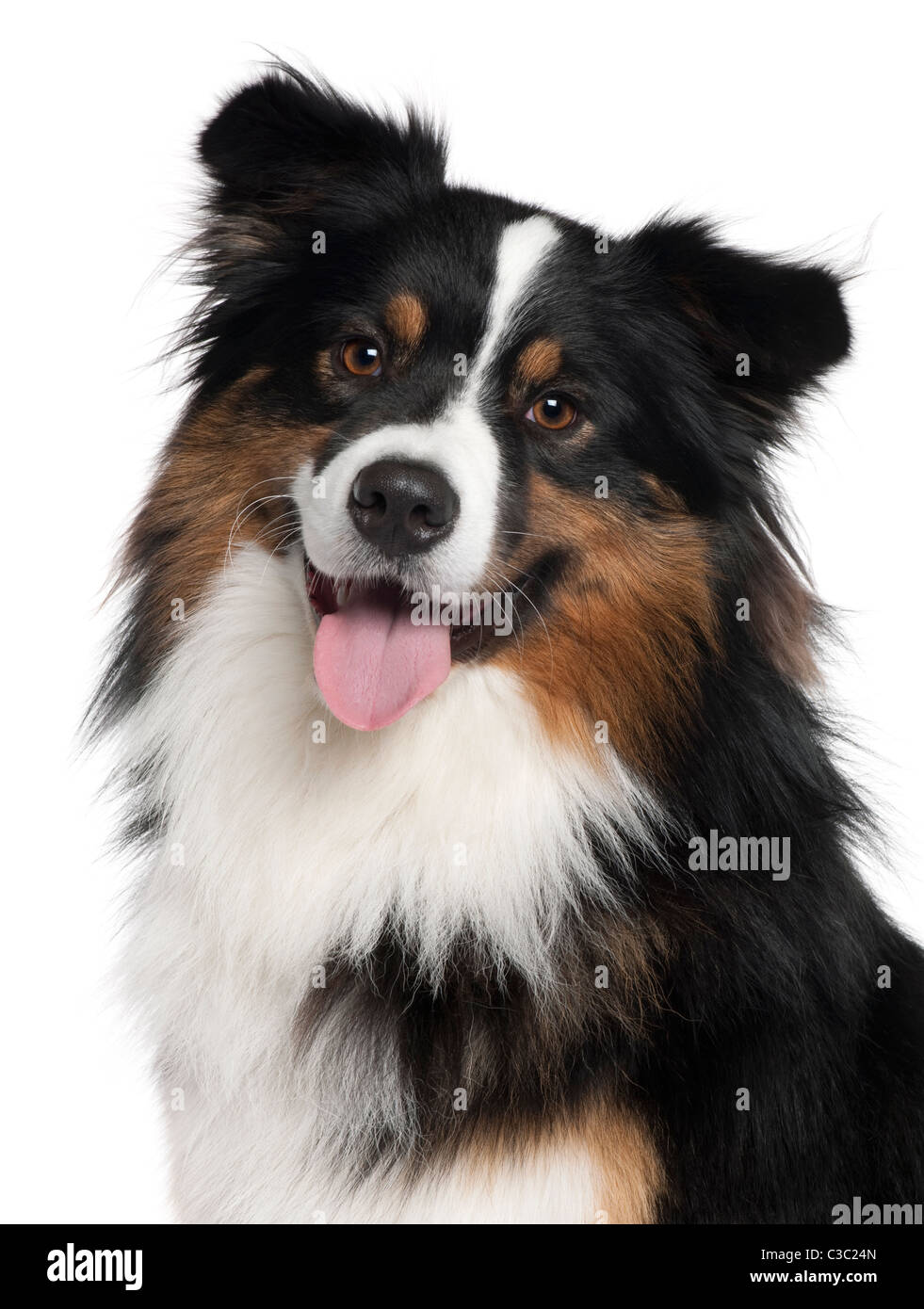 Close-up of Australian Shepherd dog, 2 years old, in front of white background - Stock Image