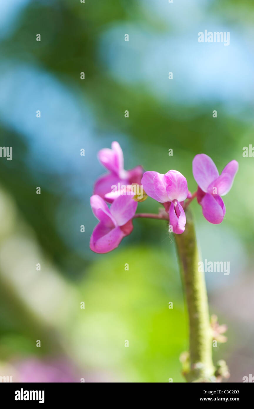 Cercis siliquastrum. Judas tree flower blossom - Stock Image