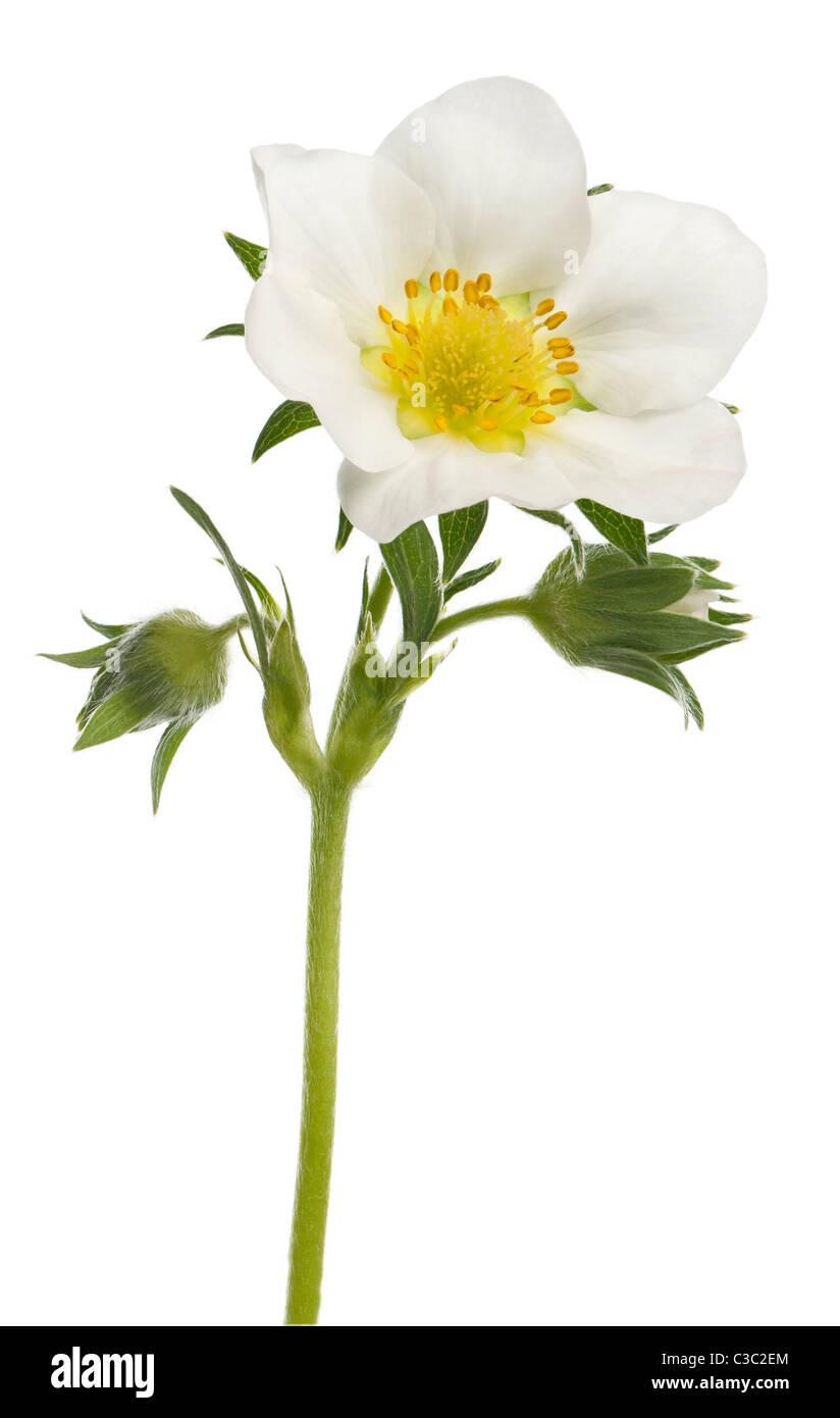 Flower of garden strawberry, Fragaria ananassa, in front of white background Stock Photo
