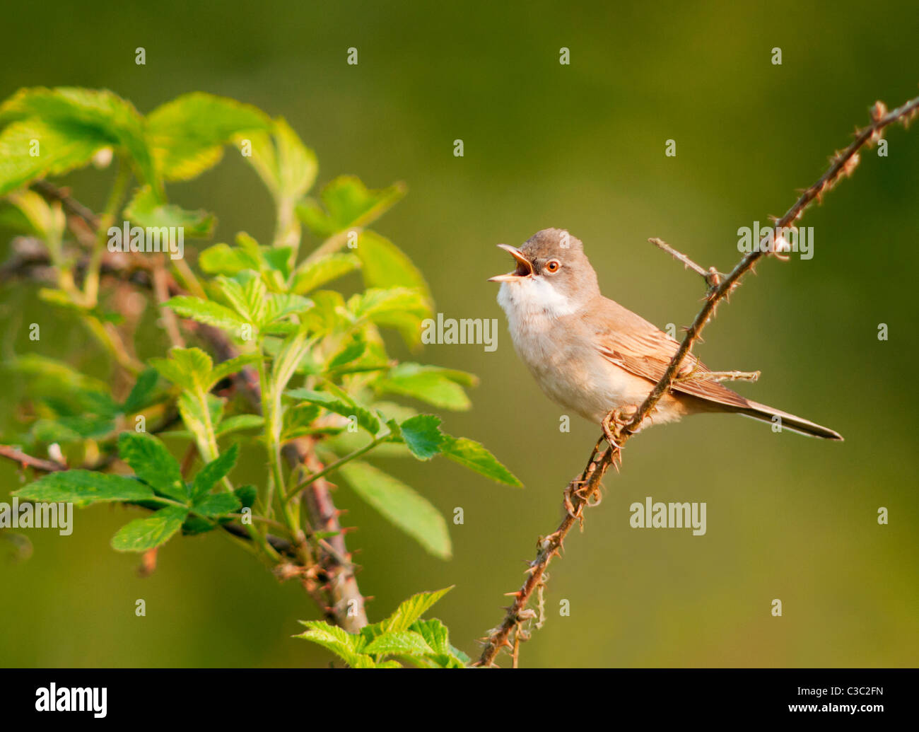 Whitethroat (Sylvia communis) singing from perch, Warwickshire - Stock Image