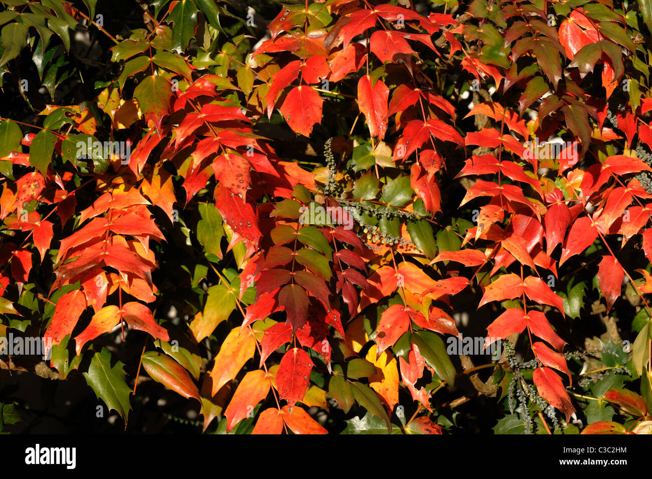 Red dying leaves on a mahonia shrub shortly before flowering - Stock Image