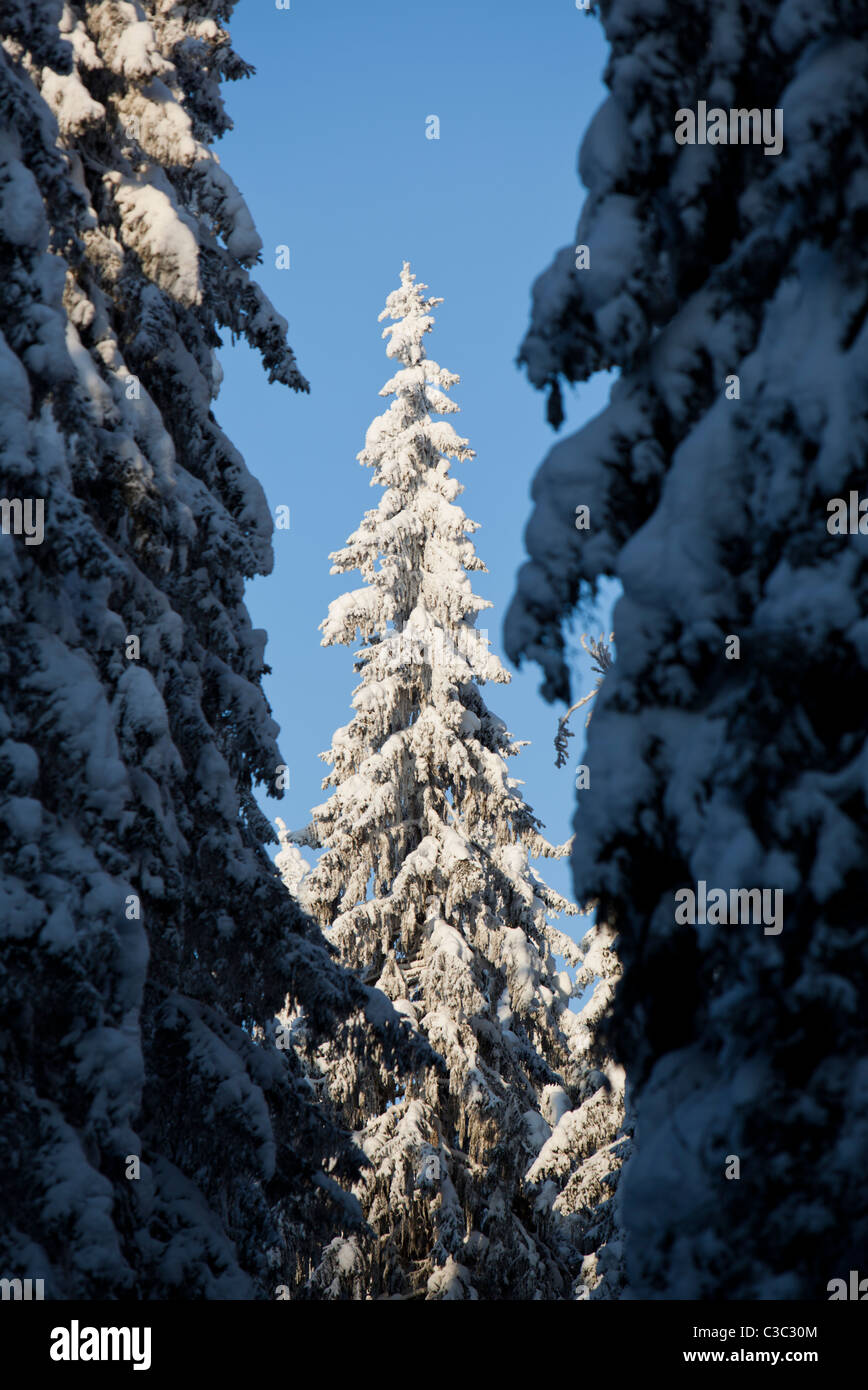 View of snow covered spruce trees in the forest at Winter ( Picea Abies ) , Finland Stock Photo