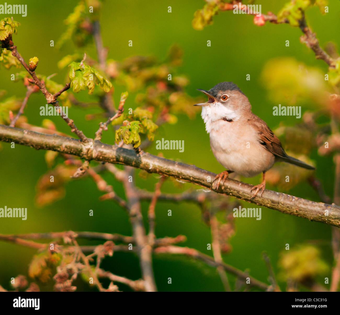 Male Whitethroat (Sylvia communis) singing from perch, Warwickshire - Stock Image