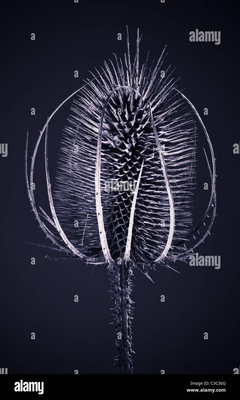 Teasel seed head - Stock Image