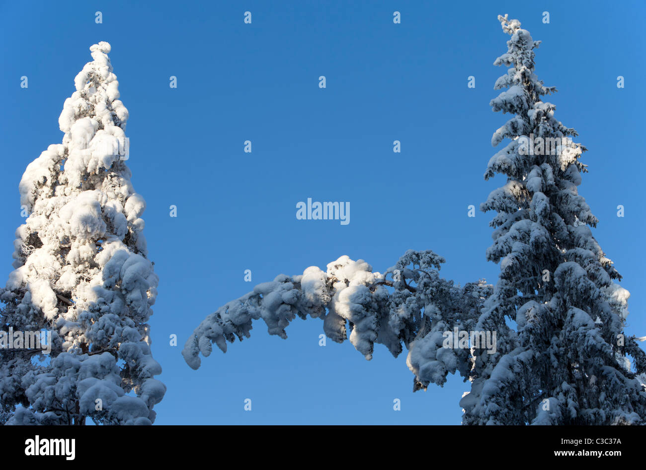 View of snow covered spruce ( Picea Abies ) treetops in the forest - Stock Image