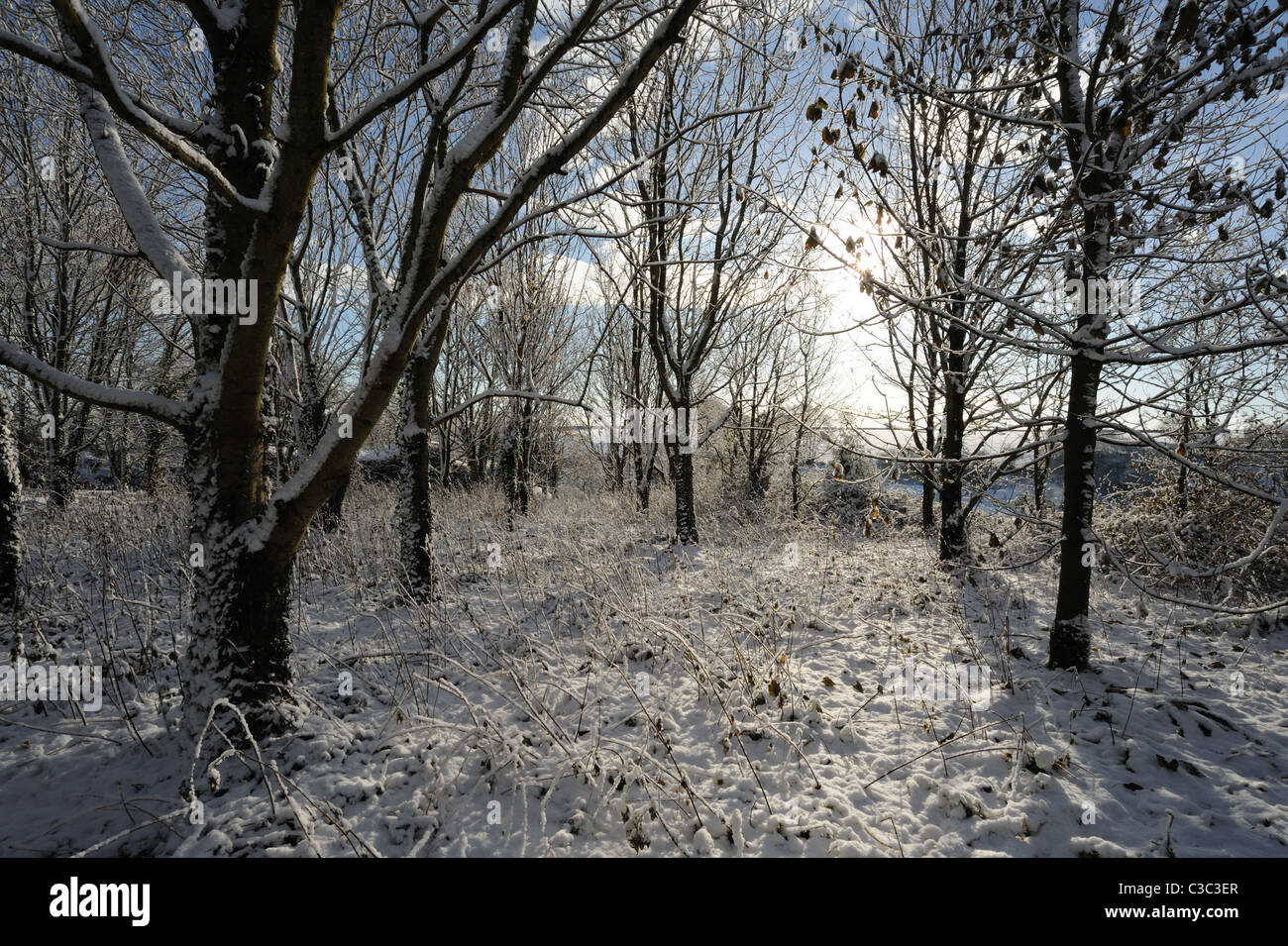 Light woodland after a snow fall, East Devon December - Stock Image