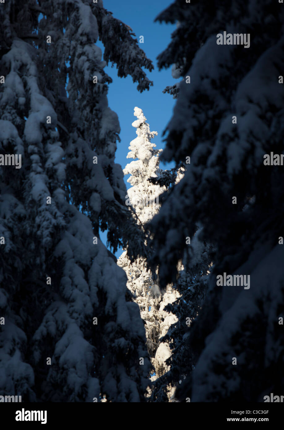 View of snow covered spruce trees in the forest at Winter ( Picea Abies ) , Finland - Stock Image