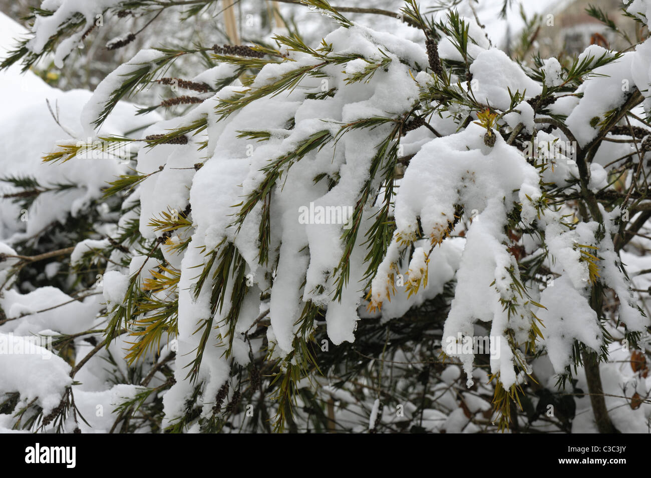 Australian bottle-brush (Callistemon rigidus) foliage with heavy snow cover in winter - Stock Image