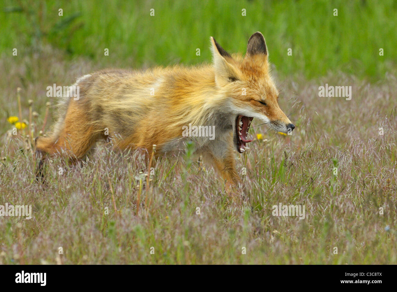 Yawning and stalking red fox - Stock Image