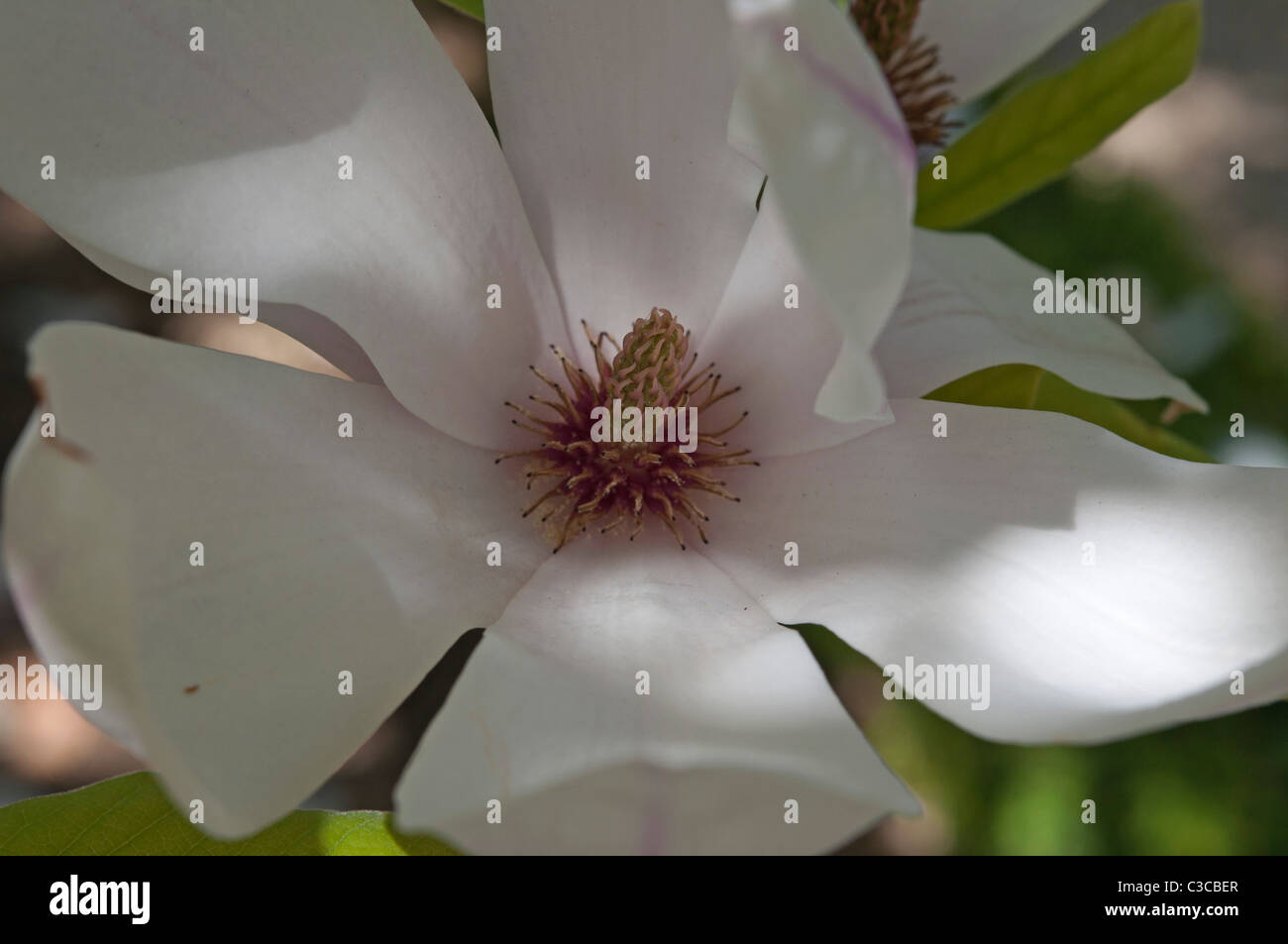 Close up of a Magnolia flower in the subfamily Magnolioideae of the family Magnoliaceae England, UK Stock Photo