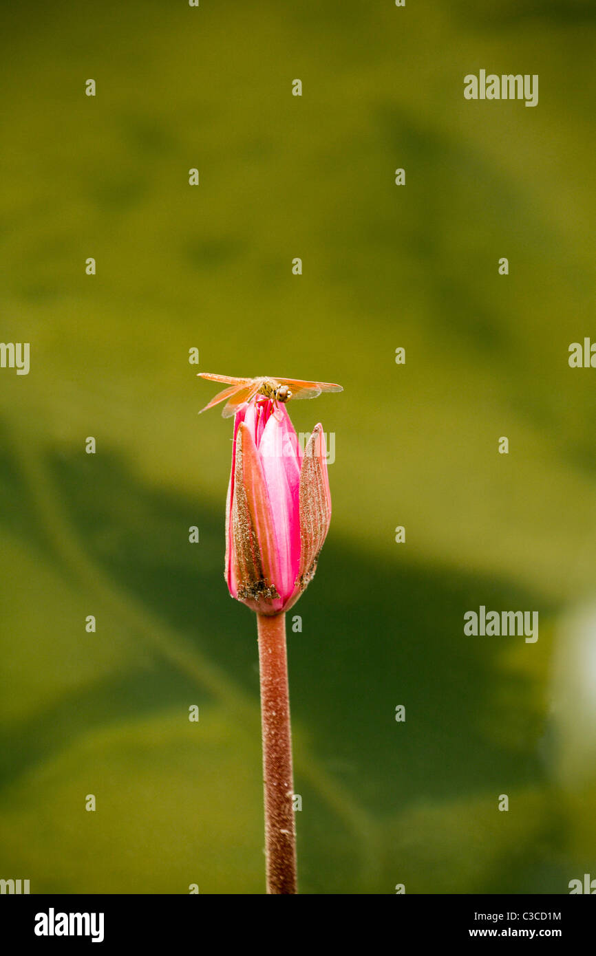 Red dragonfly sitting on a pink water lily bud in Cambodia Stock Photo