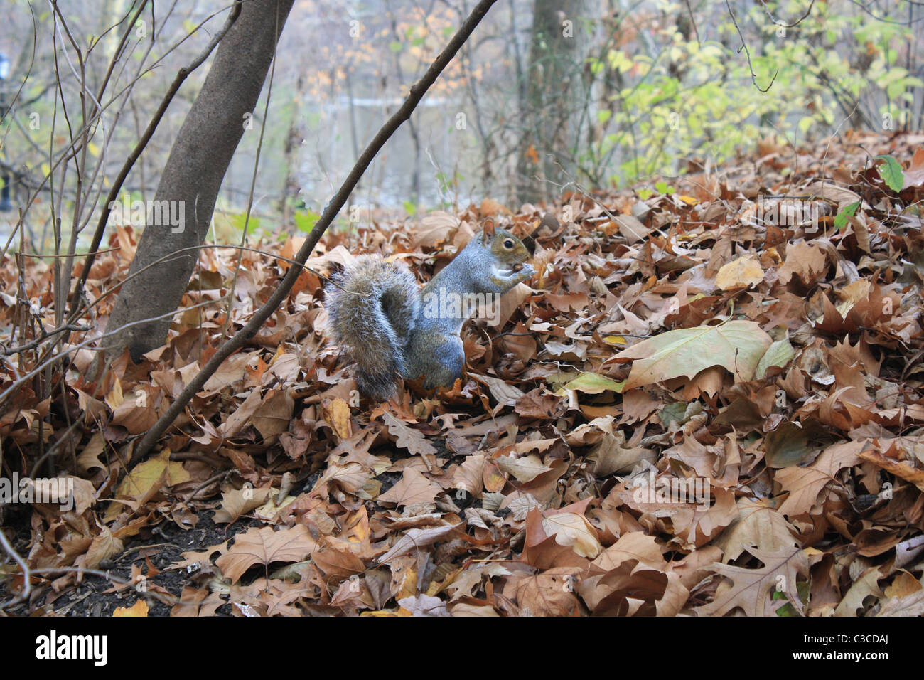 grey squirrel in the park at autumn - Stock Image