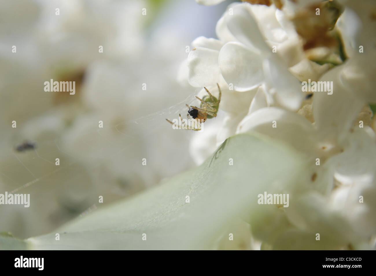 spider eating prey among white lilac flowers Araniella curcurbitina - Stock Image