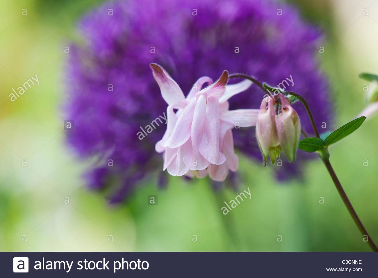 Purple aquilegia columbine flowers stock photos purple aquilegia aquilegia vulgaris flower in front of allium hollandicum purple sensation flower stock image izmirmasajfo