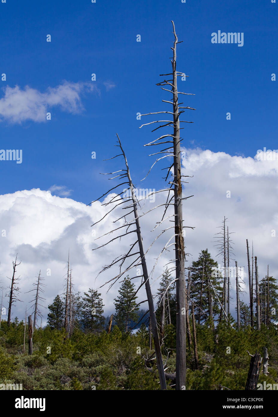 Trees burned in forest fire, against blue cloudy sky - Sierra Nevada mountains, California USA - Stock Image