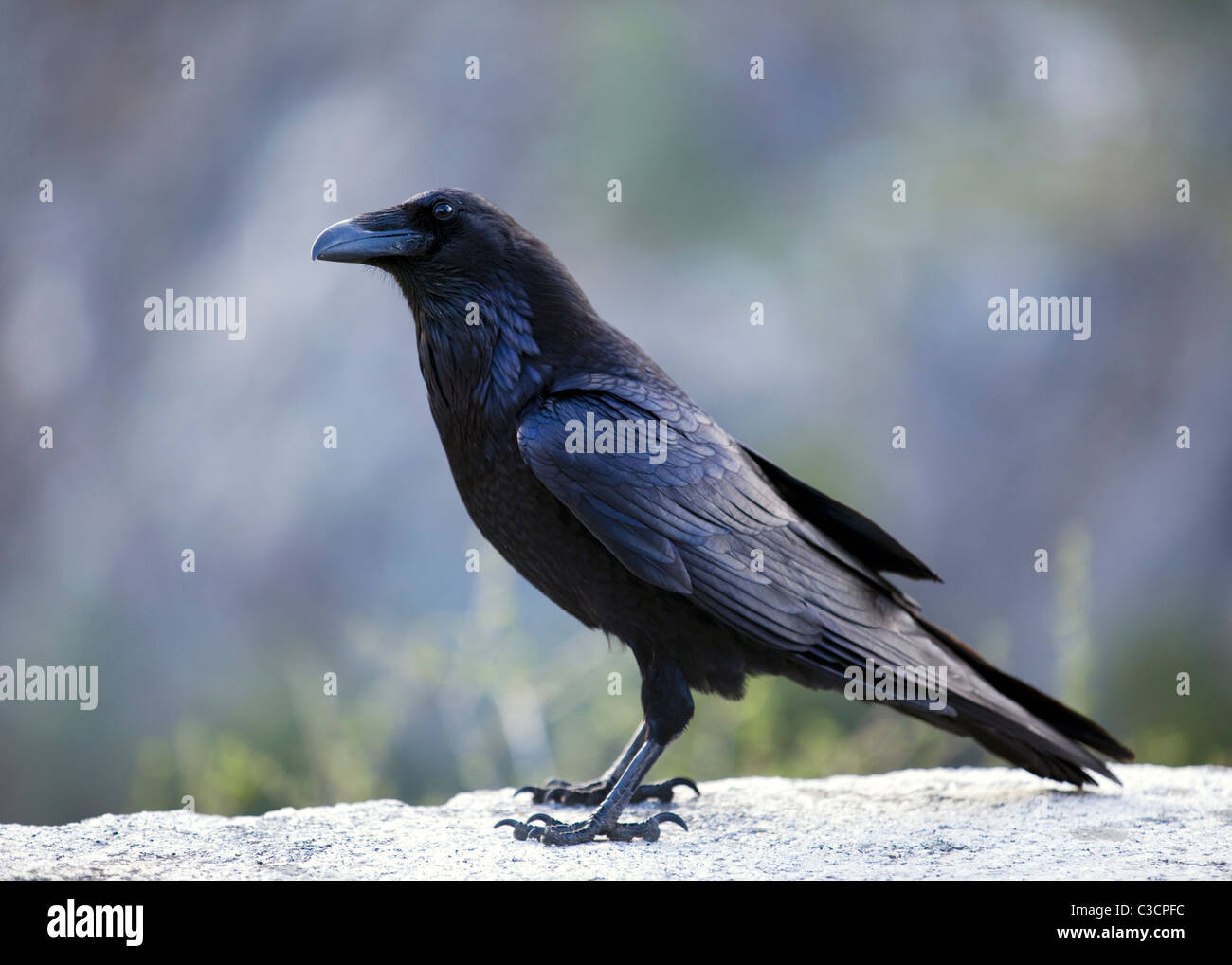 A closeup profile view of American Crow (Corvus brachyrhynchos) - Stock Image