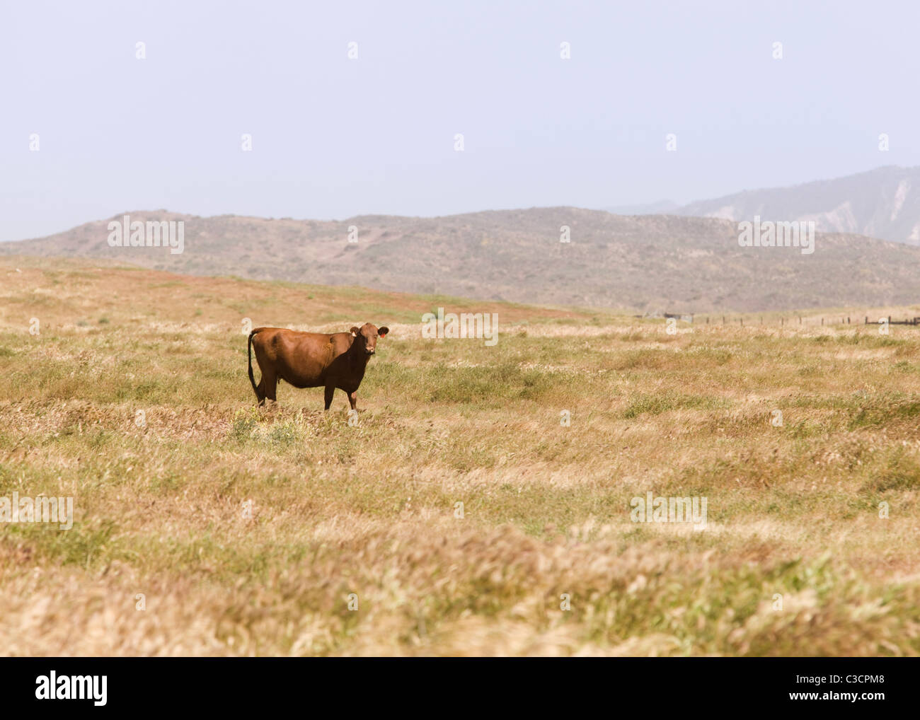 A lone cow standing in the middle of grassy field -  California USA - Stock Image